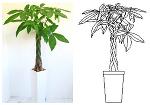 観葉植物[パキラ]